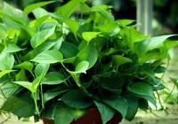 夏季綠蘿這麼養,像打了激素一樣,瘋狂長不停!