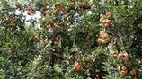 68歲老人懶出來的果樹新品種小金果走俏市場,果樹專家沒見過
