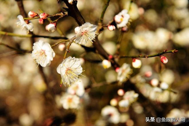 青島唐島灣國家溼地公園 海邊春意鬧 梅花滿枝頭