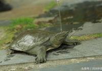 河洲甲魚:甲魚養殖該如何進行水質控制?