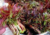 農村的香椿採摘時間很短,怎麼保存美味的香椿?