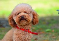 為什麼泰迪犬這麼受歡迎,不在乎這5個原因