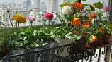 這些花懶人都愛種,不打理也爆盆,一盆養20年,陽臺變成小花園
