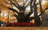 """近4000歲的""""天下第一銀杏樹"""",身披""""金甲"""",氣勢雄偉"""