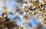 去日本京都賞櫻,人山人海,在上海鄉下觀花,冷冷清清