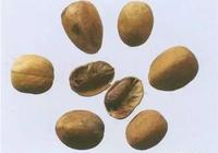 每天最少學一味中藥—巴豆|第 299天