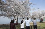 華盛頓櫻花節