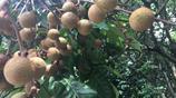 這種龍眼在市面上很少見了,老樹才能長出這種果子,一般都是自家人摘來吃