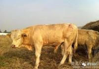 農村小規模養牛怎麼養,農村養牛需要什麼手續?
