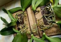 枯萎的'蝴蝶蘭'不要扔,簡單處理,第二年照樣開出美麗的花朵