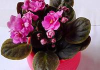 非洲紫羅蘭~國際上著名的盆栽花卉