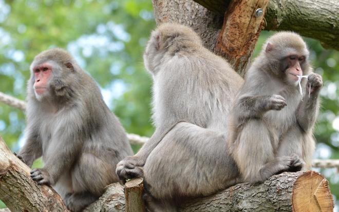 動物圖集:可愛日本獼猴