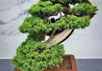 松柏盆景是一幅立體的畫