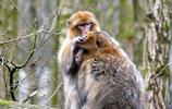 動物圖集:恆河猴