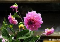 大麗花漂亮花期長,家庭種植可以使用盆栽方式養殖大麗花嗎?