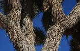 真實美景:美國沙漠裡的約書亞樹風景