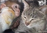 超物種的愛! 超暖心虎斑貓主動照顧受傷小猴