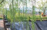 溪水邊的柳樹