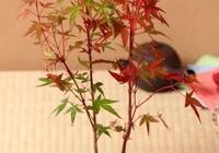 如何繁殖楓樹盆景?