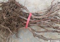 為什麼從市場上買回來種植的葡萄果苗不長大也不死?