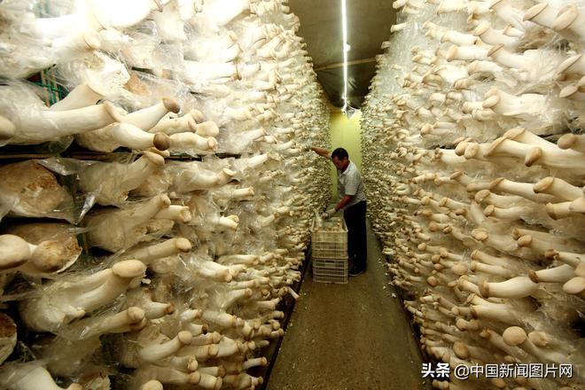 山東棗莊:食用菌拓寬農民致富路 種植戶人均年增收4萬餘元