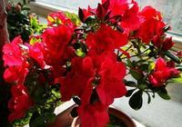 杜鵑花落葉落花,在開春的時候會發芽嗎?\n?
