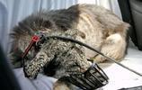 被主人拋棄了一年的狗狗身體像一塊石頭,經過幫助它又有了新主人
