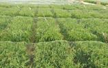 大家看出來這裡的稻田有什麼不一樣嗎?為什麼要這樣做