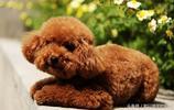 可愛泰迪犬圖片2