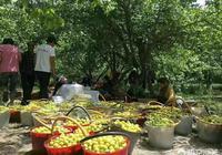 新疆6月份庫車和輪臺的最甜小白杏熟了,你吃過最甜的杏子嗎?在哪裡?