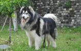 動物圖集:阿拉斯加犬