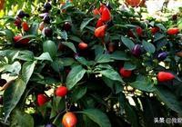 這6種蔬菜最適合陽臺種,從春天收到冬天,一年都不用買了