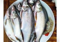 淮白魚的滋味
