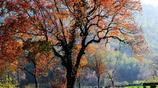 每到秋季,滿山樹葉色彩斑斕,從黃、淺紅到火紅「塔川村」