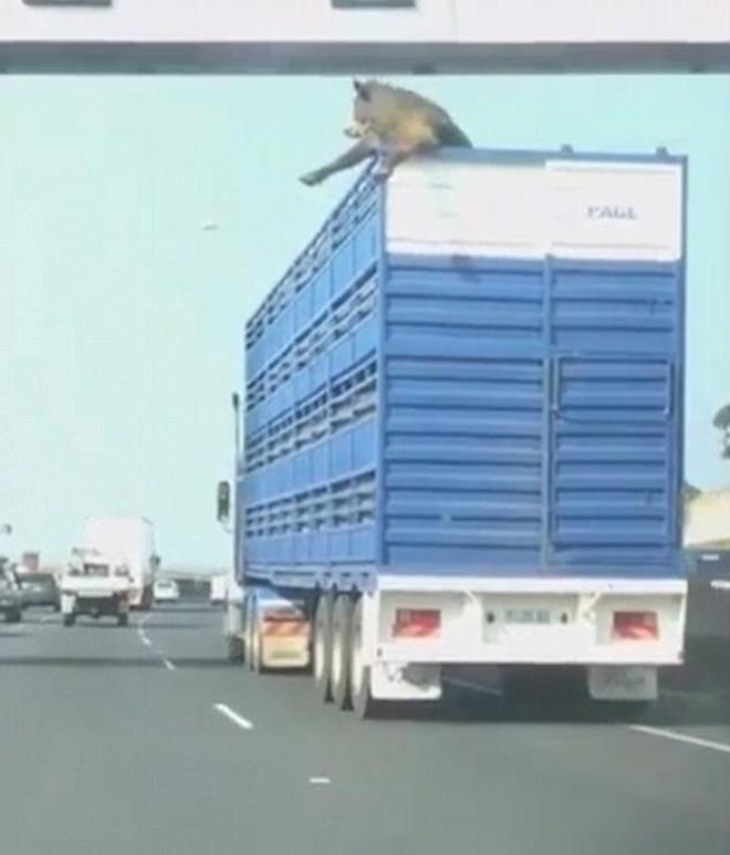 實拍一頭牛將頭伸出車外,過立交橋時差點身首異處
