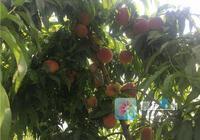 又到吃桃子的季節了 亳州這裡有水靈水靈的桃子等你來摘~