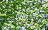 花卉攝影:雛菊