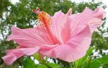 植物圖集:木槿