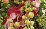 千年難得一見的菩提樹開花,見者一生得福!