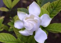 盆栽梔子花,換盆用橘子皮和土發酵的土壤,保證你的梔子綠油油!