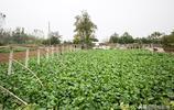 農村夫妻種幾十年貢品蘿蔔,不出家門被承包,住的房子見過嗎?