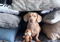 趁主人不在家時,狗會出現6種表現,65%的狗平日不開心