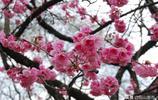 雲南櫻花開了,花團錦簇、粉紅浪漫的樣子,是昆明春天最美的笑臉