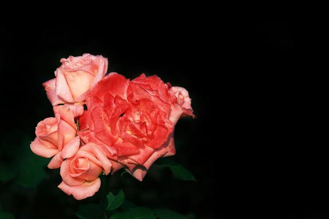 粉紅色的月季