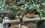 看看老花農嫁接的這些精品桂花盆栽,2000元一棵都不賣,很養眼
