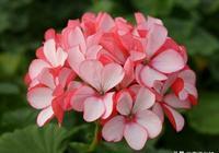 花瓣似蝶的天竺葵種植技巧,基質選擇好,觀賞價值更高