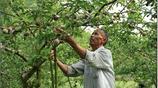 農村大爺家的水果無人摘,城市女孩專程去買,一買就是50斤