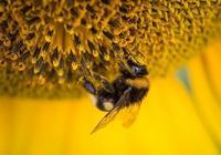 木槿攝影—教你如何拍攝一隻小蜜蜂