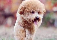 泰迪跑外面去瘋,生了一窩的小黑狗,母狗:是誰拿走了我的孩子