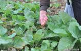 又是菜籽油飄香時 8幅圖帶你看從油菜到菜籽油的漫長變化